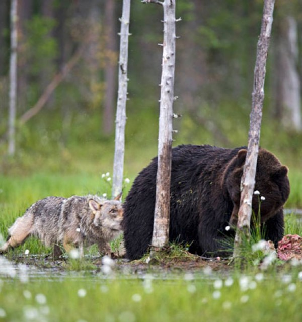 rare-animal-friendship-gray-wolf-brown-bear-lassi-rautiainen-finland-141