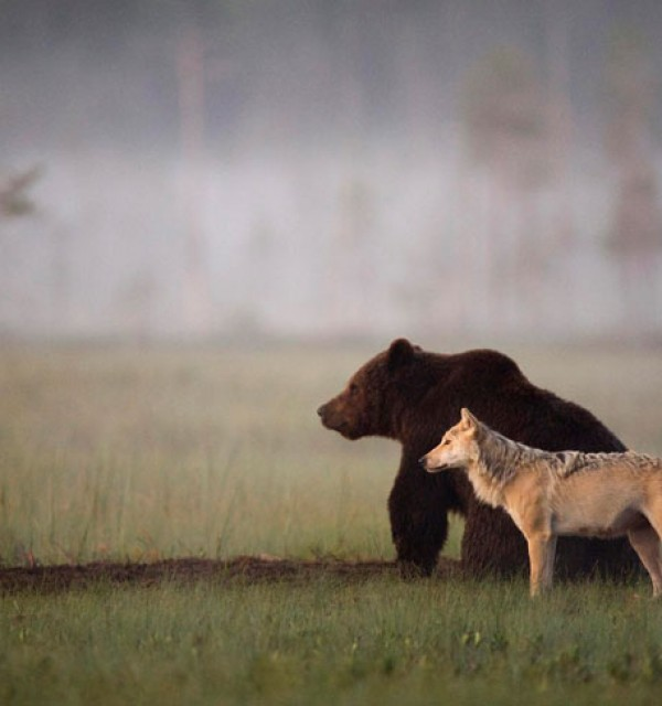 rare-animal-friendship-gray-wolf-brown-bear-lassi-rautiainen-finland-91