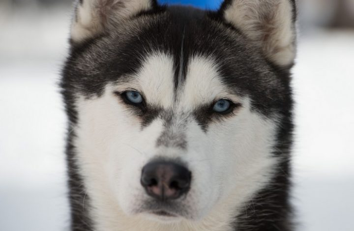 Сибирска Хаска
